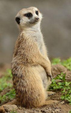 Merry little meerkat by Mike Wilson