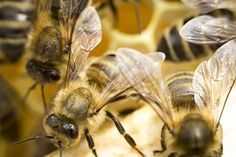 Bee, Ul, Honey, Insect, Bees
