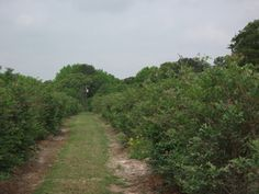 Blueberry Hill Farms- Pick your own blueberries!  Just 70 miles east of Dallas!