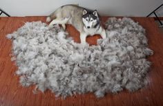 Ever wonder how much a Siberian Husky sheds during the Spring?