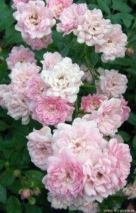 Buschrosen Kordes Rosen, Matt Bomer, Garden, Flowers, Plants, Planting Roses, Garten, Lawn And Garden, Gardens