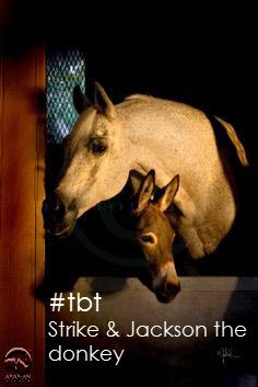 Throwback to the beautiful & kind stallion Strike (*Aladdinn x GWYNDALYN, by *Bask++), who is pictured here with his friend, a donkey named Jackson. This gorgeous boy was National Champion in 1985 – a competitive year with over 44 horses entered. Strike lived out his long life with his breeders & friends the Gallun family in Southern California. #tbt