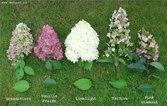 ideas for small tree for front yard shade garden Hydrangea Landscaping, Front Yard Landscaping, Shade Garden, Garden Plants, Hydrangea Care, Limelight Hydrangea, Full Sun Hydrangea, Hydrangeas, Trees For Front Yard