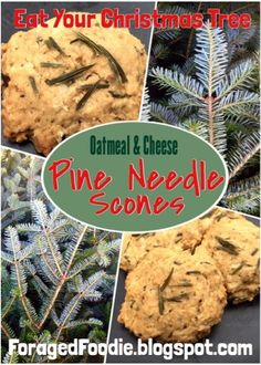 Savory spruce (or pine!), oatmeal and cheese scones. Eat your Christmas tree, part 2, from the ForagedFoodie