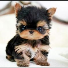28 Best Cute Baby Yorkies Images On Pinterest Baby Yorkie Cute