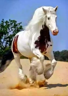 Gypsy Vanner horse running in the sand. This is a beautiful horse Most Beautiful Horses, All The Pretty Horses, Majestic Horse, Majestic Animals, Cute Horses, Horse Love, Horse Pictures, Animal Pictures, Beautiful Creatures