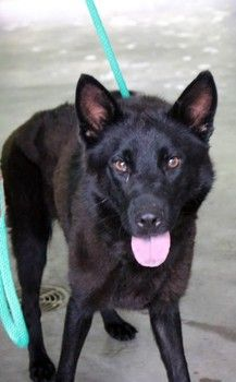 Eulee: Stunning black shepherd needs out of high-kill upstate shelter ADOPTED