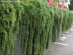 weeping / trailing rosemary - aromatic evergreen groundcover most effective when cascading down dry sunny banks or over walls.