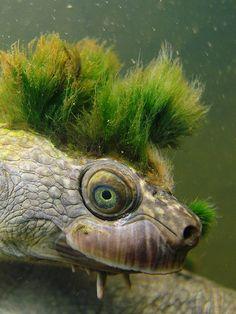 Mary river turtle algae - photo#26
