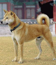 Korean Jindo Dog breed info,Pictures,Characteristics,Hypoallergenic:No