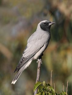 Black-faced Cuckoo-shrike | David Taylors Nature Images | Flickr