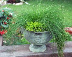 Fiber Optic Grass - one of my favorite garden plants, great in dry beds Lush Garden, Summer Garden, Water Garden, Shade Garden, Container Plants, Container Gardening, Flower Gardening, Jardin Luxuriant, Pot Jardin