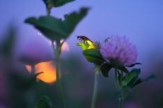 Full Moon and Firefly With Clover Flowers. Photo from Firefly Experience.