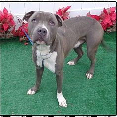Pictures of SOCRATES a Pit Bull Terrier for adoption in Marietta, GA who needs a loving home.