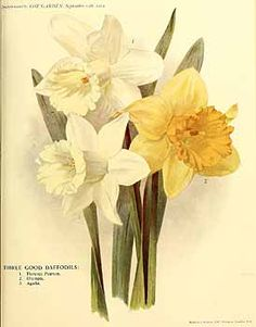 273185 Narcissus / The garden. An illustrated weekly journal of horticulture in all its branches [ed. William Robinson], vol. 78:  (1914)