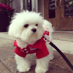 ♥ Maltese ♥.... My Gucci ❤