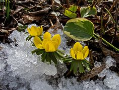 Winterlinge - die ersten Frühlingsboten! von Uwe Vollmann