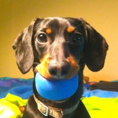10 Reasons Crusoe Is Your New Favorite Dachshund Dachshund Funny, Dachshund Breed, Daschund, Crusoe The Celebrity Dachshund, Thai Chi, Clever Dog, Miniature Dachshunds, Most Popular Dog Breeds, Training Your Dog