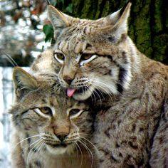 DeviantArt: More Like Lynx ninja babies by Nesihonsu Pretty Cats, Beautiful Cats, Beautiful Horses, Animals And Pets, Cute Animals, Animals Sea, Wild Lion, Power Animal, Wild Creatures