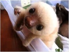 Little Sloth  -- I saw my first 'blond' sloth like this one in Columbia.  I thought it was a stuffed toy until it s-l-o-w-l-y moved its fingers.