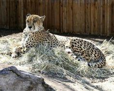 Mommy cheetah watchin what to eata