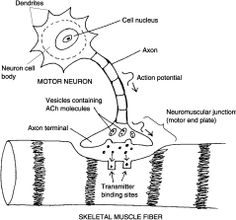 Nerve Impulses When axons are resting, they are not