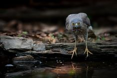 Crested Goshawk bird (Accipiter trivirgatus) standing on a log at puddle, looking at camera before drinking water.