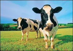 Chick-fil-a! Cow Appreciation Day -- Wondering how to make a quick and easy homemade cow costume? We're here to help! Look for complete instructions and supplies for your cow costume. Cow Appreciation Day, Holstein Cows, Happy Cow, Free Dogs, Mundo Animal, Hobby Farms, Dog Treat Recipes, Isagenix, Dog Treats
