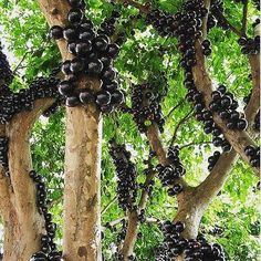 "I totally thought this was an art installation... But on closer look (and after  a little bit of googling) it is real!  and these amazing black balls are Jabuticaba fruit growing as they do. Adding this (Jabuticaba tree) to my bucket list of must see plants.  Image by @good.dirt  Who says ""As a kid growing up in Brazil I spent my afternoons playing in the backyard of my childhood home climbing trees and eating their fruit: avocado jaca papaya mango and jabuticaba while playing hide and seek…"
