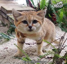 Sand Cat. Big cat rescue Tampa Florida. I love this place!