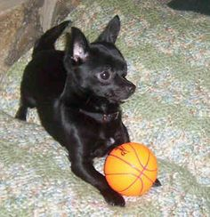Black chihuahua that's good at basketball OMG how cute