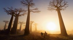 Nature and travel photographer Marsel van Oosten captured this early morning shot of the Avenue of the Baobabs