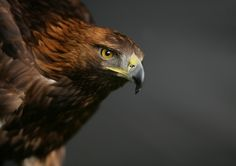 '<3' Golden Eagle by phil homer LSINWP on 500px