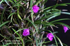 Isabelia pulchella