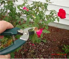 During the growing season, prune roses by looking for the first set of five leaves where you'll see a leaf bud. Prune just above this bud at a 45 degree angle that will assure the new growth will grow outward from the plant and not inward. This can be done as you dead