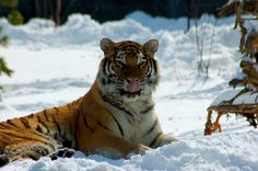 Tiger - Oh how I love snow | Flickr - Photo Sharing!