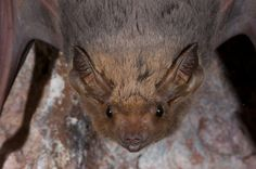Coastal Sheath-tail Bat Taphozous australis