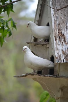 White Morning Doves