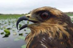 Scientists thought that invasive large snails spelled doom for endangered North American snail kites, until some of the birds started eating them.