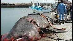 37ft shark w 15000 teeth. Megladon?