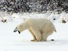 Isbjörn bajsar