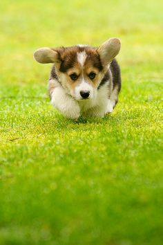 Heading into Home Plate - adorable Pembroke Welsh Corgi puppy | Flickr - Photo Sharing! by Daniel Stockman