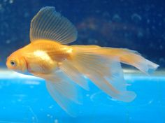Goldfish - young Veiltail