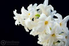 Zdjęcie efektywnego kwiatostanu hiacynta