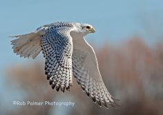 Adult White Gyrfalcon