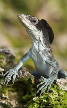 Malpelo Anole by Carlos Eduardo on 500px