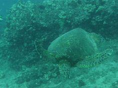 Maui dive - honu #treasuredtravel