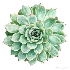 In the latest tutorial in my online School, I demonstrate how to paint Succulents, and their milky, textured leaves, without using any white paint!