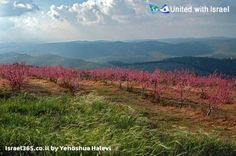 A blossoming peach orchard just outside of Bat Ayin in the Judan hills