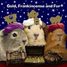 We 3 Pigs of Adorable are bearing gifts we can't travel far, fields and fountains, moor and mountains, why are my legs so short! Merry Christmas to all and to all a goodnight! #guinea pig mania #guinea pig #Christmas special